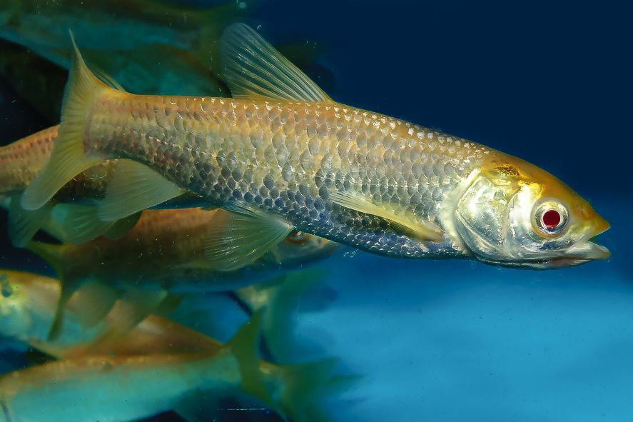 Grass carp for Israeli koi for sale