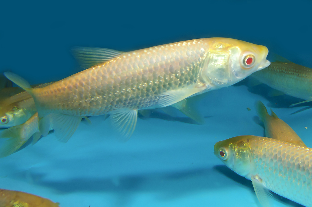Grass carp for Green koi fish for sale